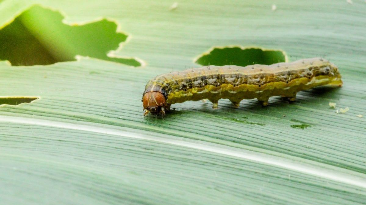 Army worm on a leaf
