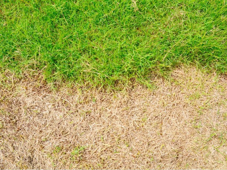 brown patch grass
