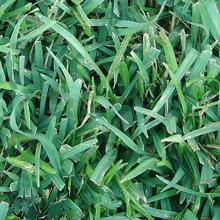 centipede-grass