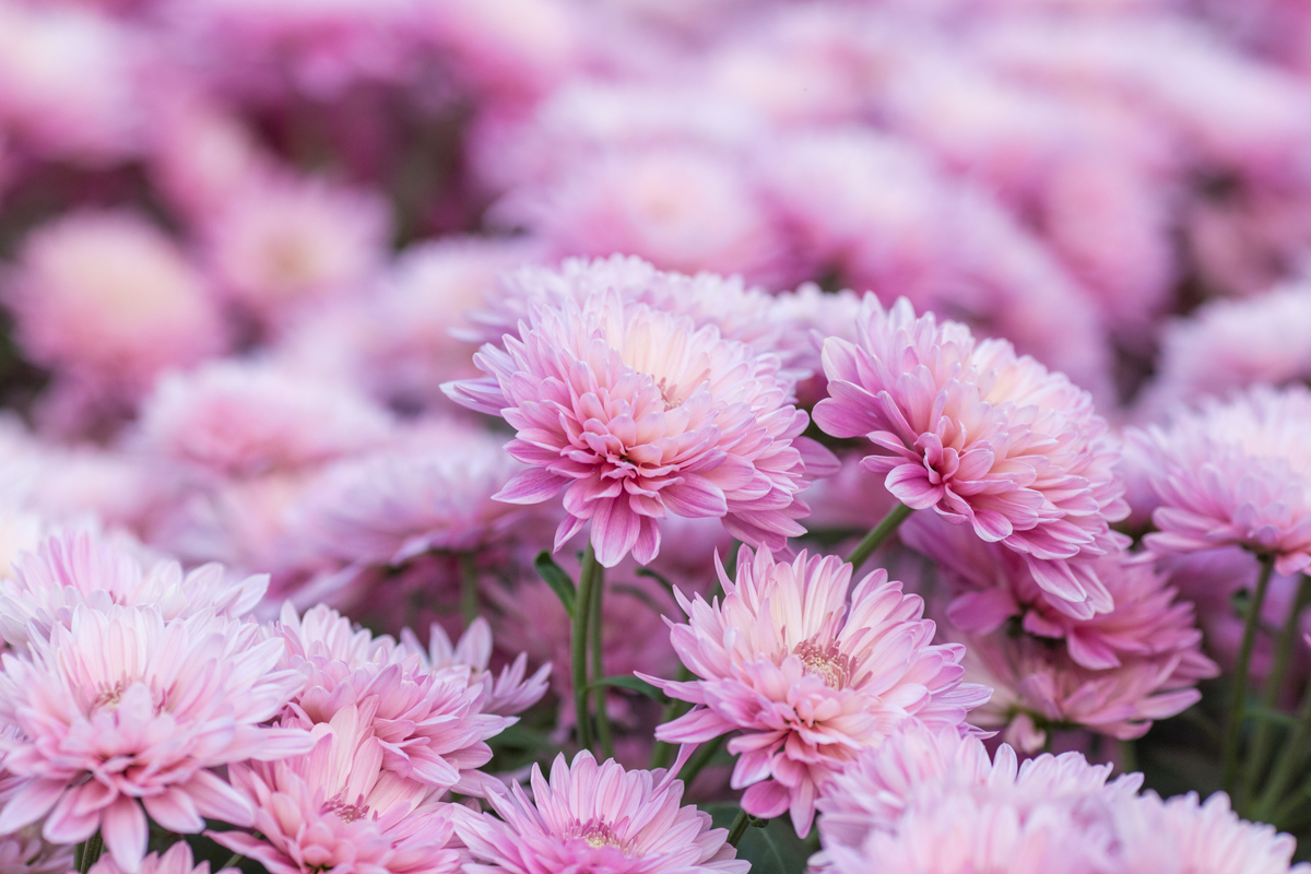 11 Garden Plants To Help Keep Bugs Away Trugreen Midsouth