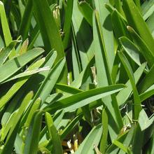 st-augustine-grass