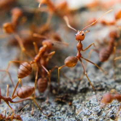 Fire ant control is essential to your summer lawn care and to the safety of you and your family here in Prairieville, LA.