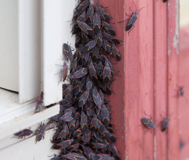 Keep pests like this box elder bug out of your Oxford, MS home with fall pest control tips from TruGreen Midsouth.