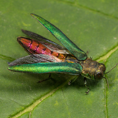 Emerald ash borers are some of the worst tree pests around and make tree care and absolte must here in Starkville, MS.