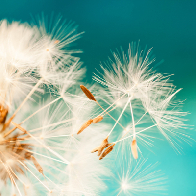 Dandelion seeds will overwinter in your Tupelo, MS lawn, which is why pre-emergent fall weed control is essential.