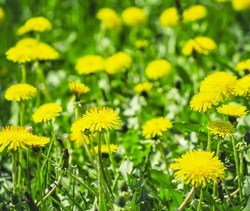 Fall weed control, including broadleaf weed control and pre-emergent weed sprays, will help keep dandelions from taking root in your Tupelo, MS lawn.