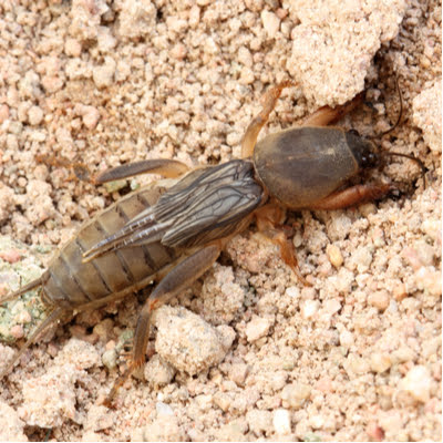 If you want to have the best year in lawn care, then use smart pest control to keep lawn-damaging pests like this mole cricket out of your Mississippi lawn.