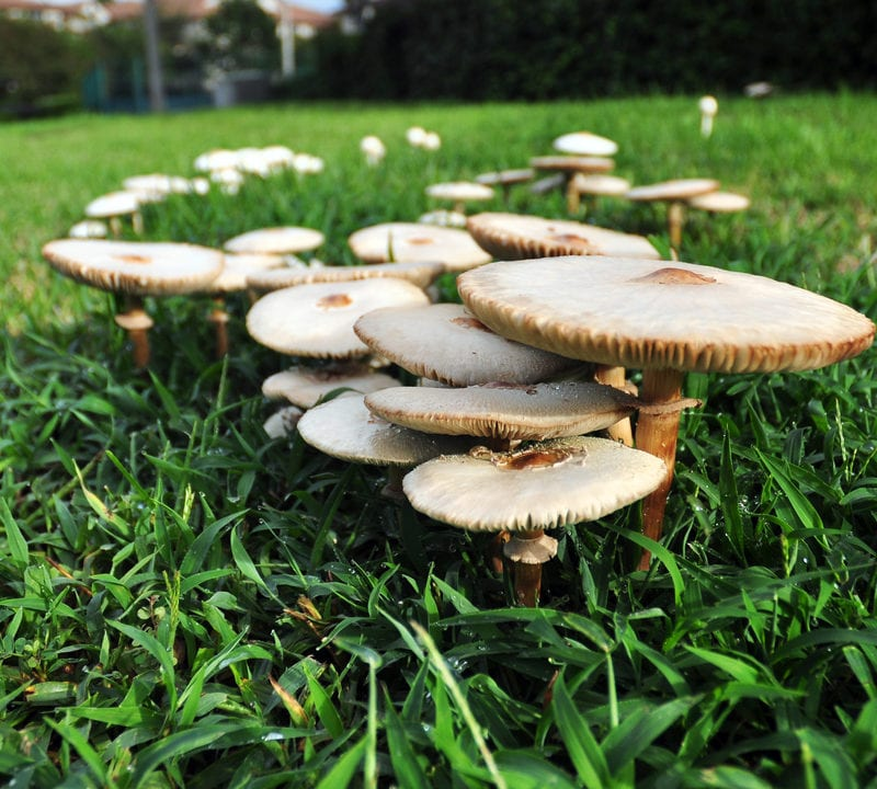 Fairy ring is another spring lawn disease affecting Louisiana and Mississippi lawns this spring.