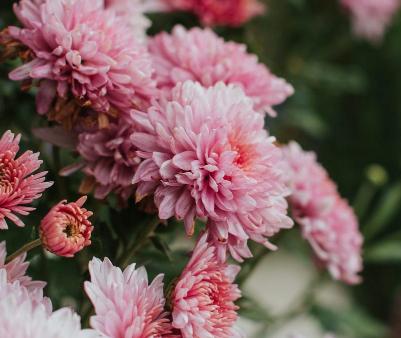 If you're looking for some of the best pest-repelling plants to add to your Louisiana or Mississippi lawn this spring, then you can't go wrong with chrysanthemums.