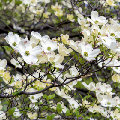 Dogwood trees are some of the most common and beautiful flowering trees in the country and they make a great addition to your Louisiana lawn.