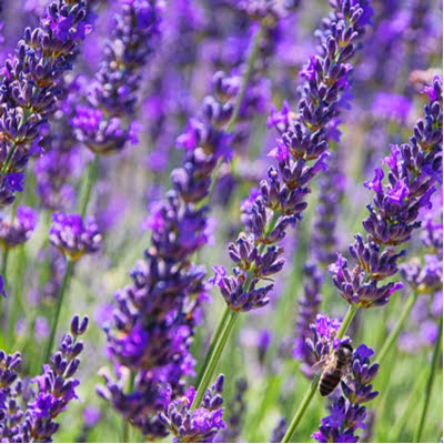 One of the most beautiful and fragrant pest-repelling plants is lavender, making it a perfect addition to your Mississippi and Louisiana lawn, garden, and landscaping.