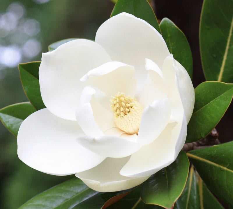 The magnolia tree is one of the most beautiful flowering trees here in Louisiana and is the perfect addition to your Louisiana lawn.