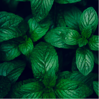 Mint is a fantastic pest-repelling plant to add to your herb garden or window planter here in Louisiana and Mississippi.