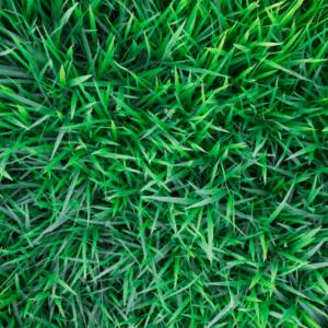 Healthy green grass