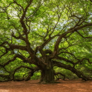 Angel Oak growing in Charleston, SC