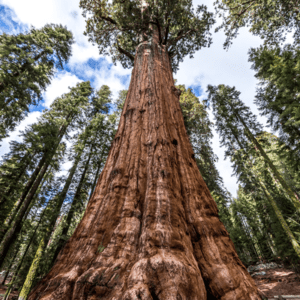 General Sherman sequioa growing in Sequoia National Park