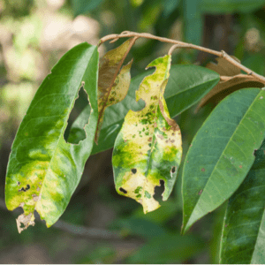 yellowing leaves on a tree