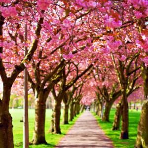 rows of flowering trees