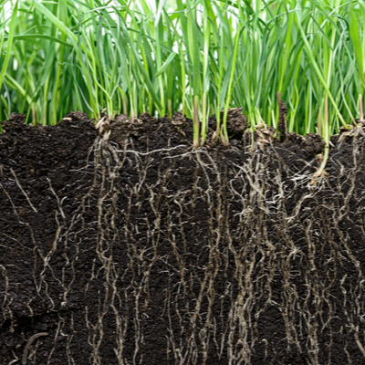 grass roots in soil