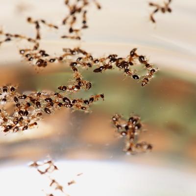 fire ants on water