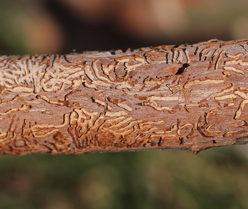 dutch elm disease on a tree