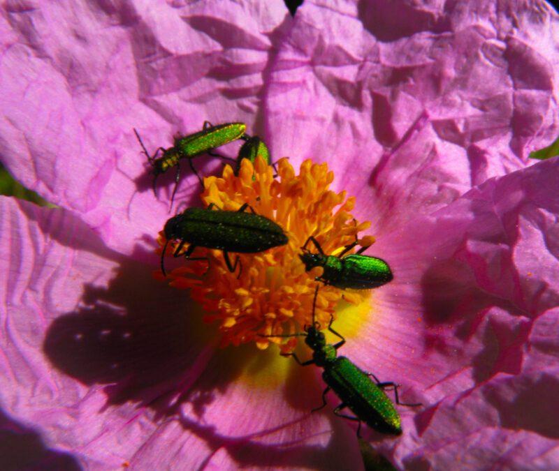 emerald ash borer on flowers